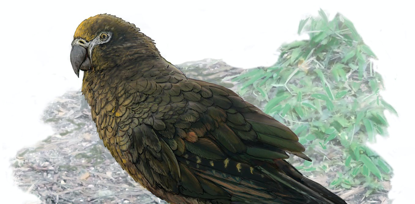 Meet the 'Hercules parrot' from prehistoric New Zealand – the biggest ever discovered