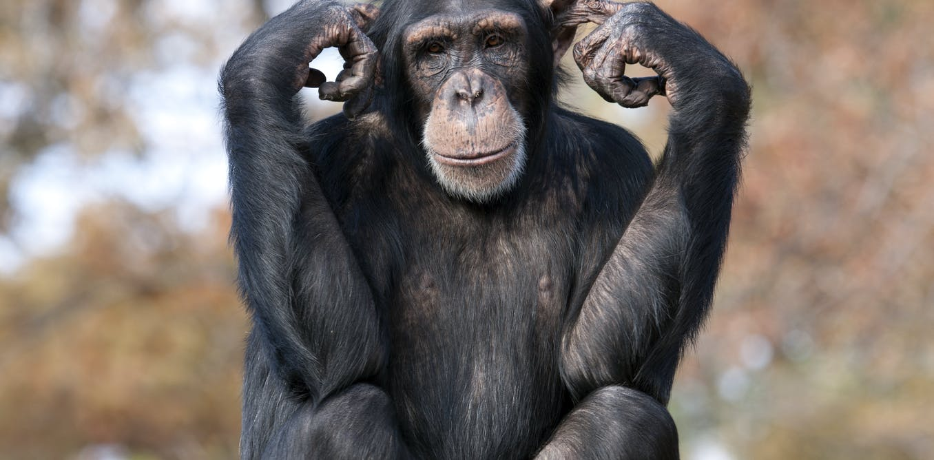 Chimpanzees' working memory is remarkably similar to our own