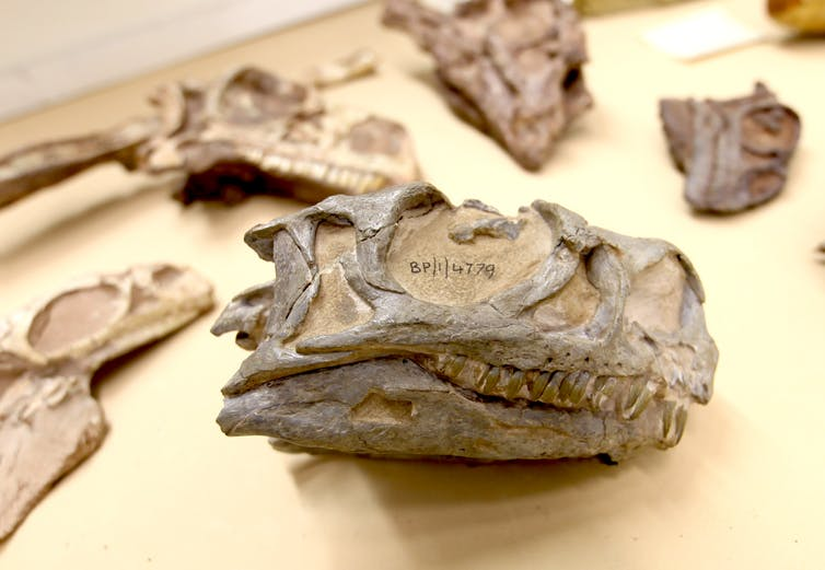 file 20190808 144878 8x1yn1.jpg?ixlib=rb 1.1 - Hidden in plain sight: The fossil that turned out to be a proudly South African dinosaur