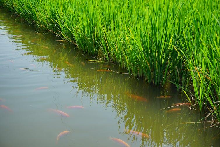 Rice fish farms
