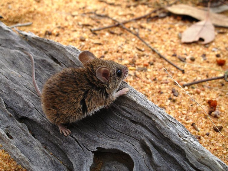 A delicate mouse (Pseudomys delicatulus) on a log.