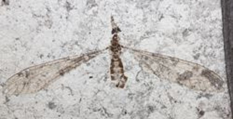 54 million year old fossil flies yield new insight into the evolution of sight