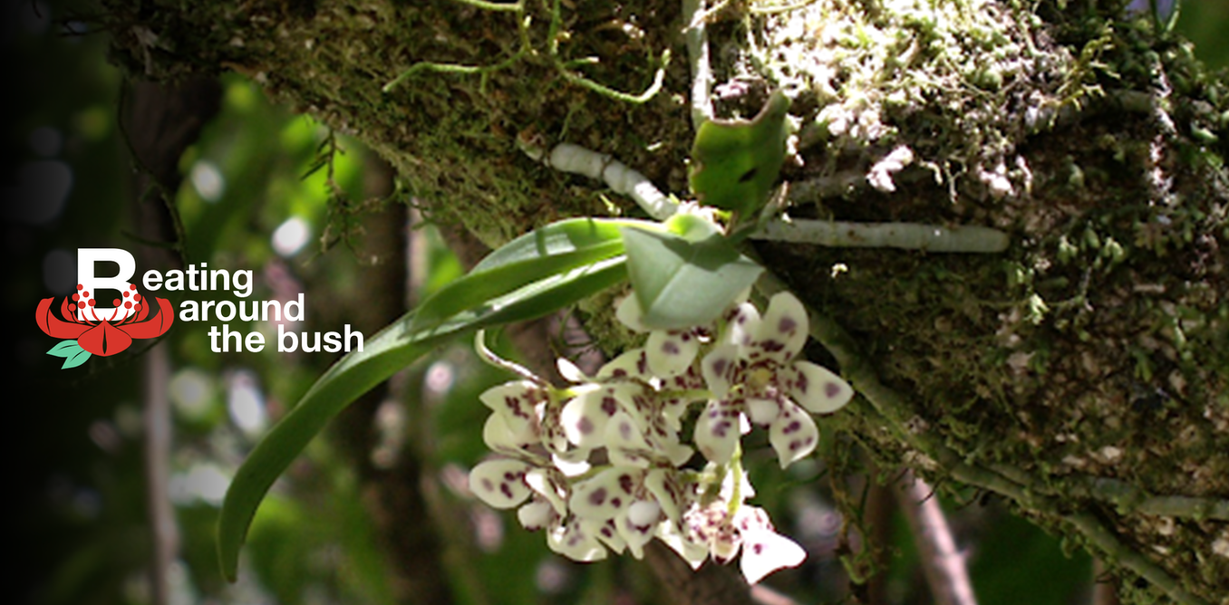 The exquisite blotched butterfly orchid is an airy jewel of the Australian landscape