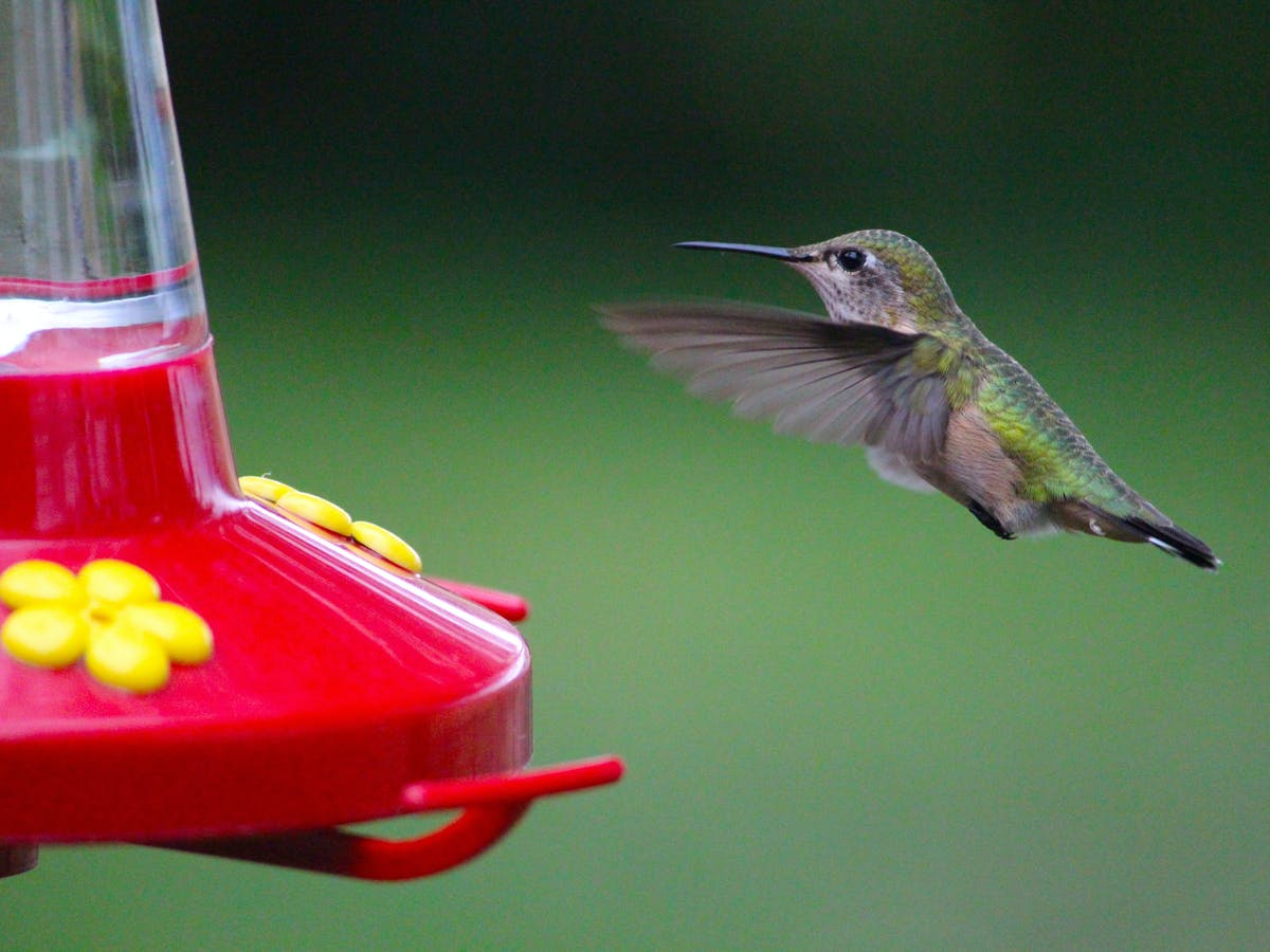 Curious Kids Why Don T Hummingbirds Get Fat Or Sick From Drinking Sugary Nectar