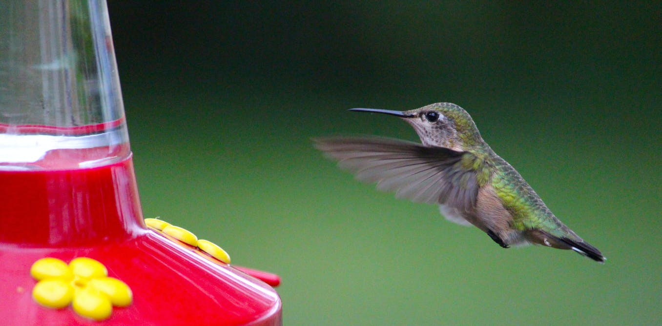 Curious kids: Why don't hummingbirds get fat or sick from drinking sugary nectar?