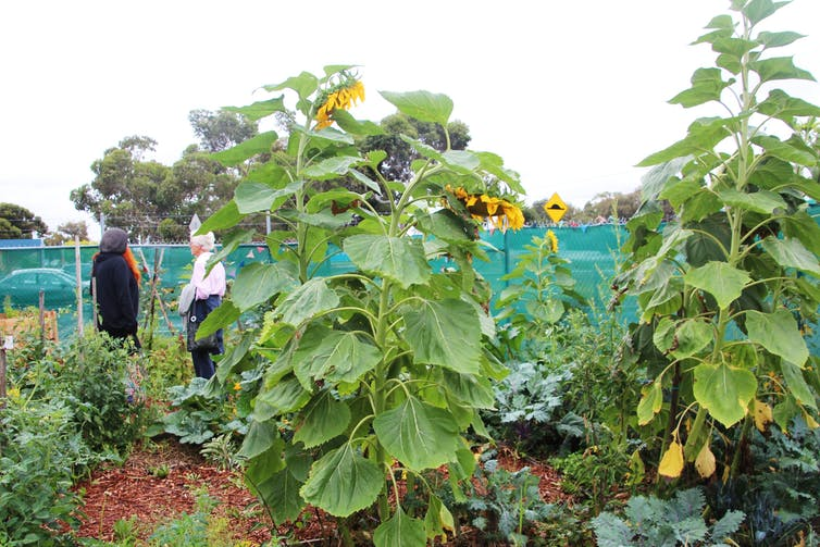 Sustainable Fawkner's Dandelion Patch