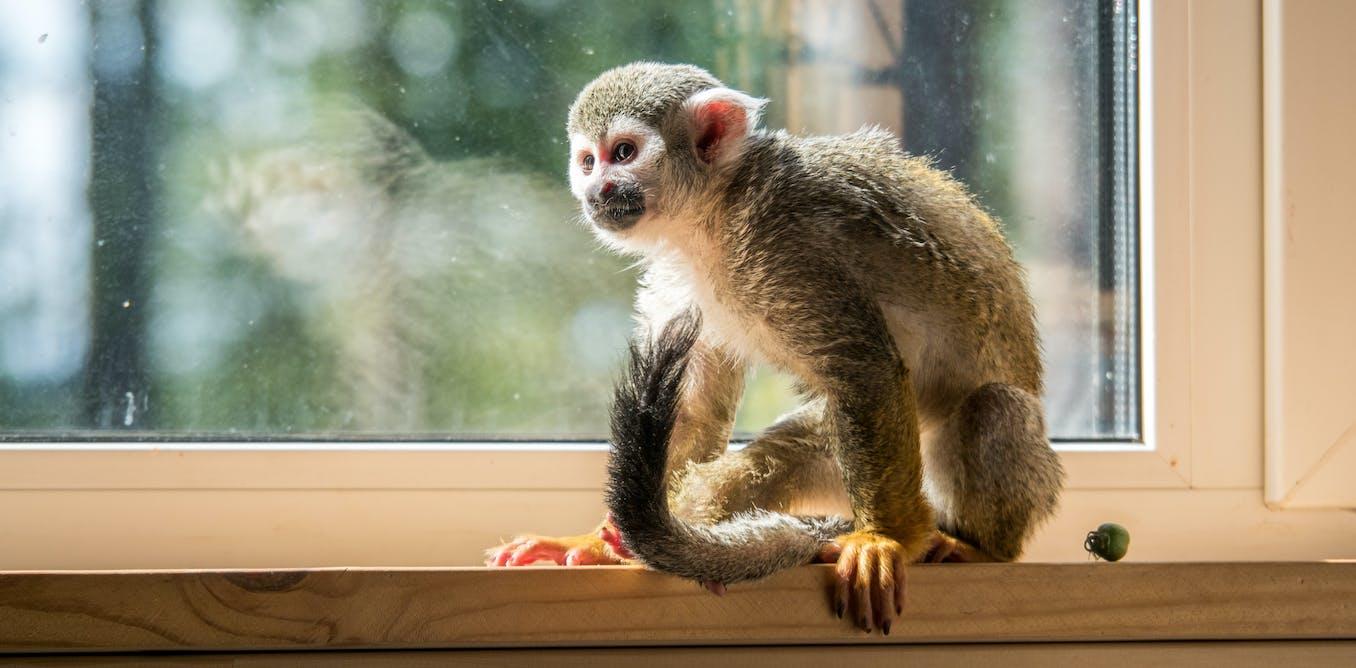 Keeping monkeys as pets is extraordinarily cruel – a ban ...