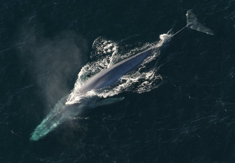 An aerial view of a blue whale that is surfacing in the ocean.
