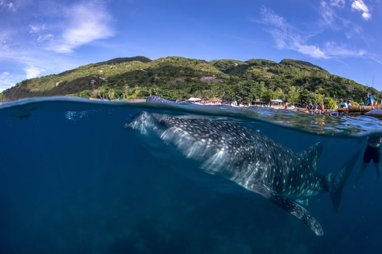 Poor Filipino fishermen are making millions protecting whale sharks