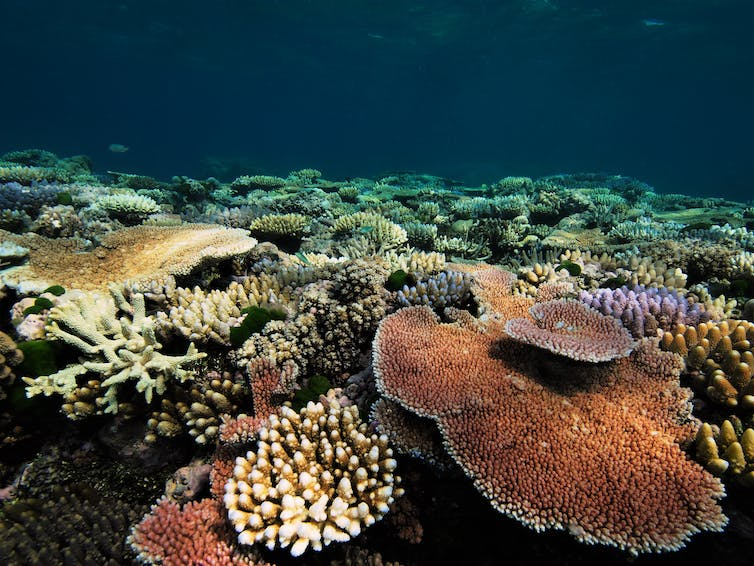 Meet the super corals that can handle acid, heat and suffocation