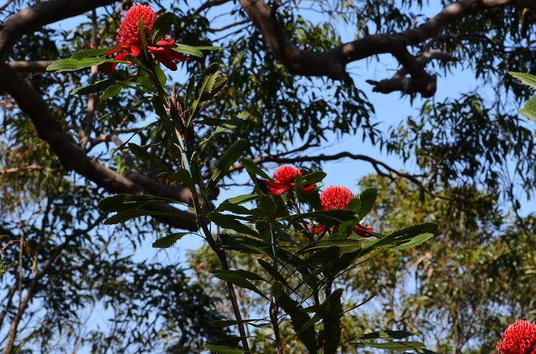 Waratah is an icon of the Aussie bush (and very nearly our national emblem)