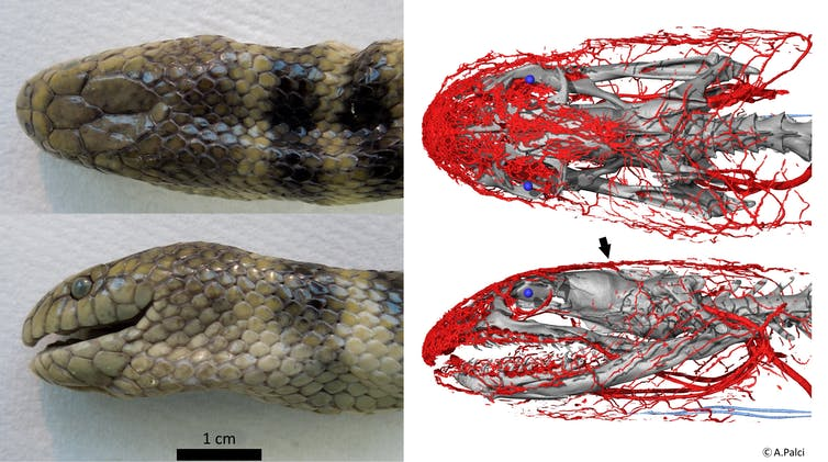 this sea snake gathers oxygen through its forehead