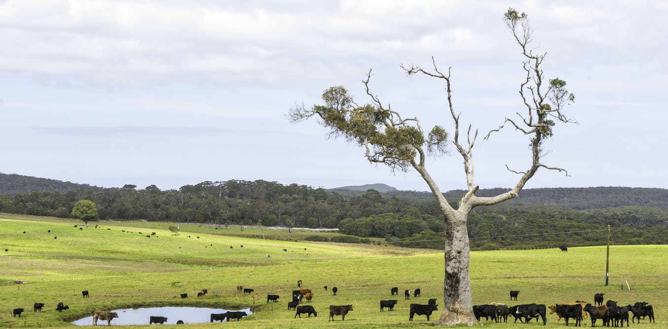 Virtual fences and cattle: how new tech could allow