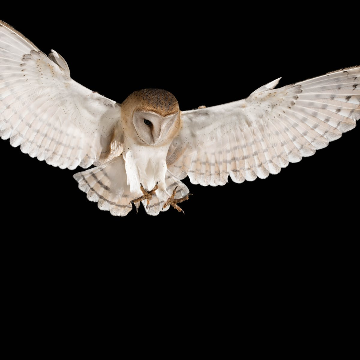Barn Owls Reflect Moonlight In Order To