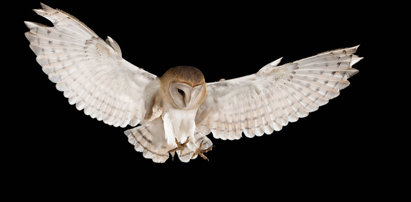 Barn Owls Reflect Moonlight In Order To Stun Their Prey