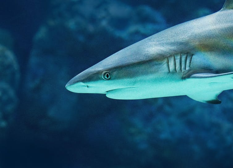 A close-up profile picture of a grey reef shark.