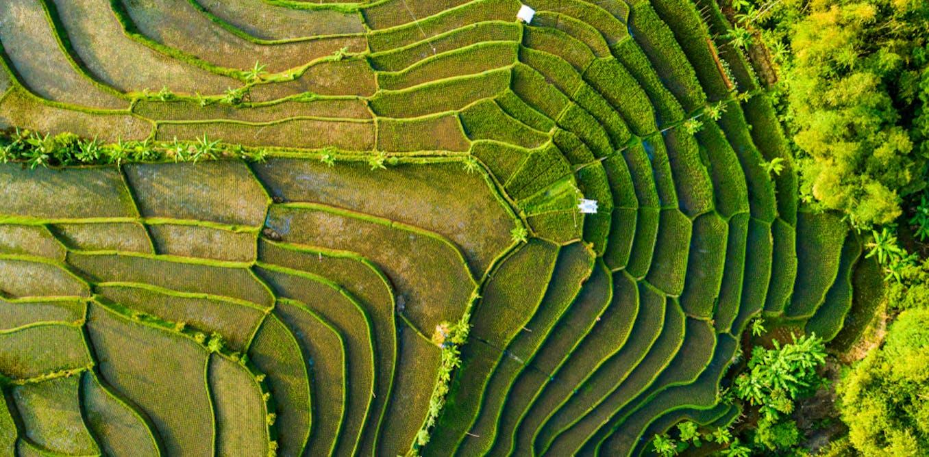 Peneliti temukan cara akurat mengukur luasan padi dengan teknologi digital