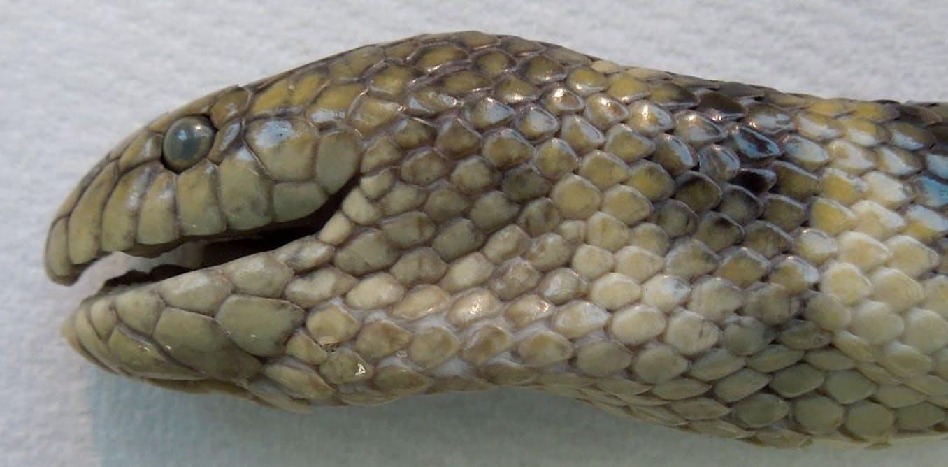 Mirip ikan, ular laut ini menghirup oksigen dari dahinya