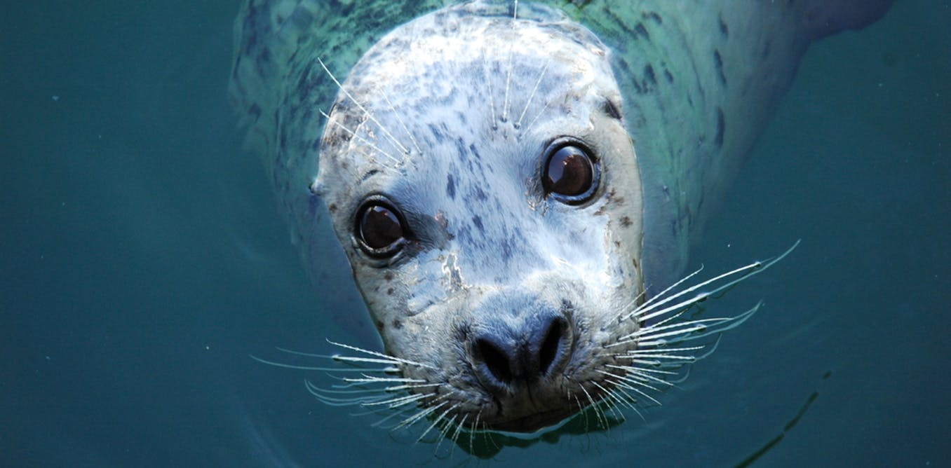 How diving seals plan ahead to save oxygen: new research