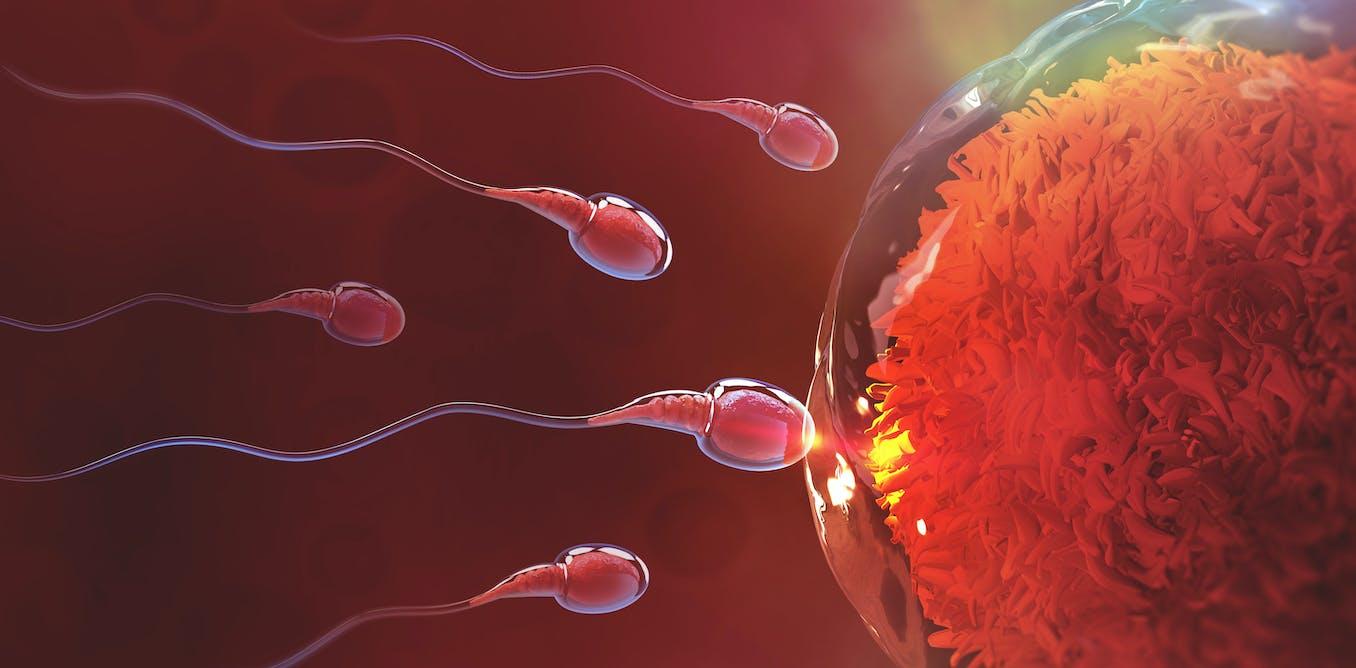 Petite histoire du spermatozoïde : la Belle au bois dormant et les missiles