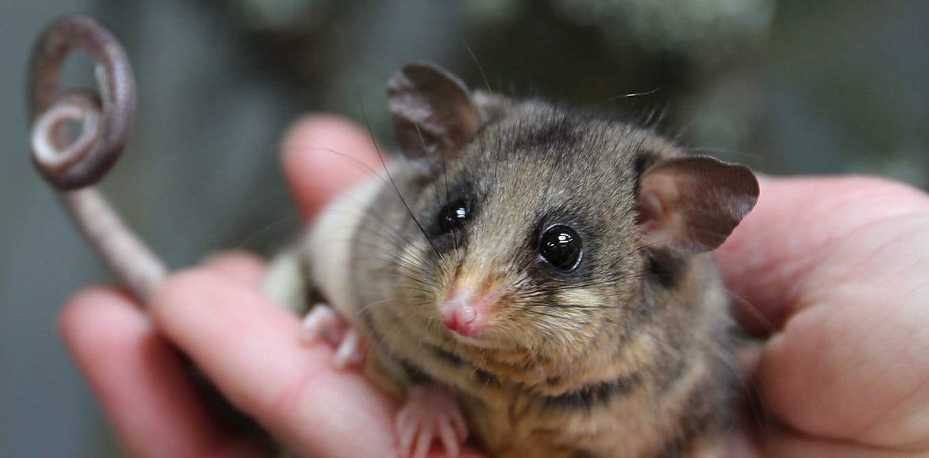 You can help track 4 billion bogong moths with your smartphone – and save pygmy possums from extinction
