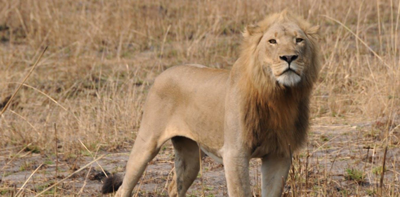 Sneaky Lions In Zambia Are Moving Across Areas Thought