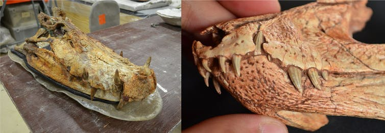 crocodile skulls