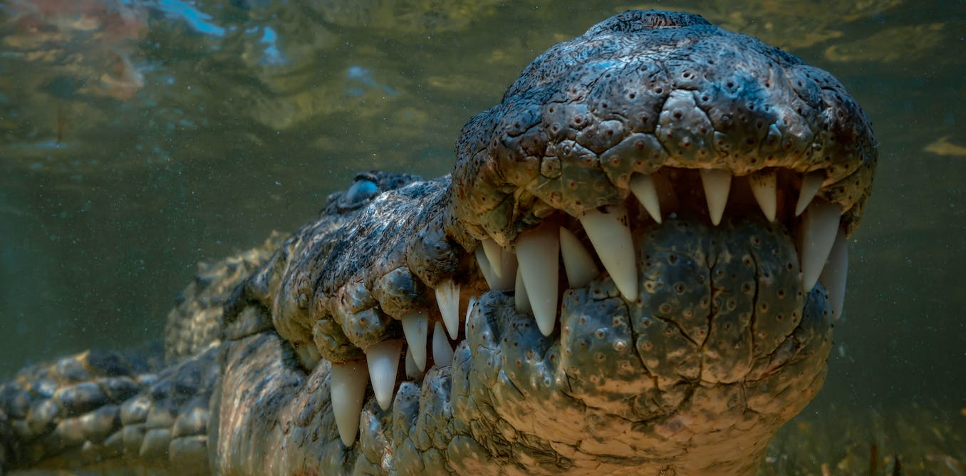 Climate change created today's large crocodiles