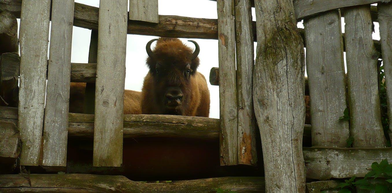 Comment les aurochs et les chevaux sauvages ont disparu du continent européen