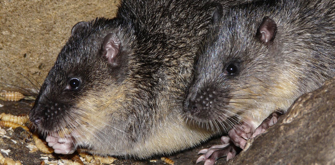 Eat your heart out: native water rats have worked out how to safely eat cane toads