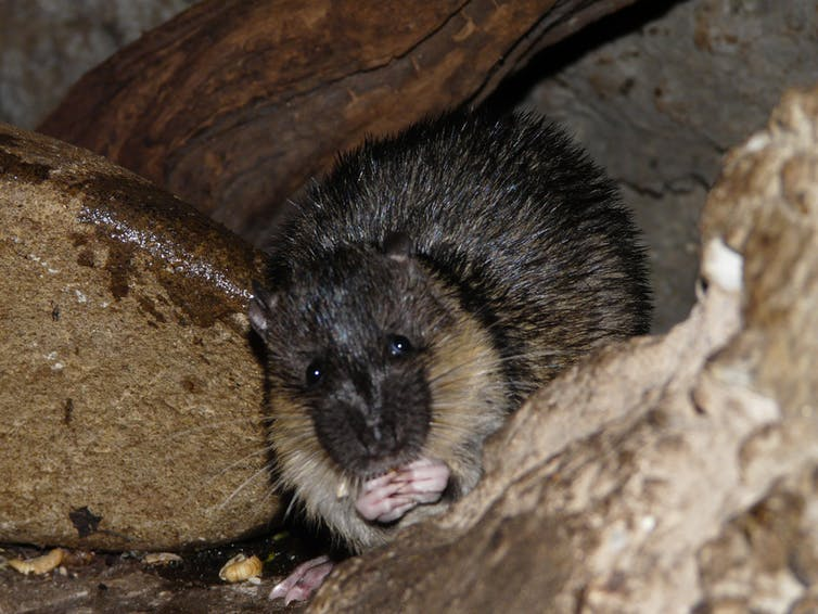 native water rats have worked out how to safely eat cane toads