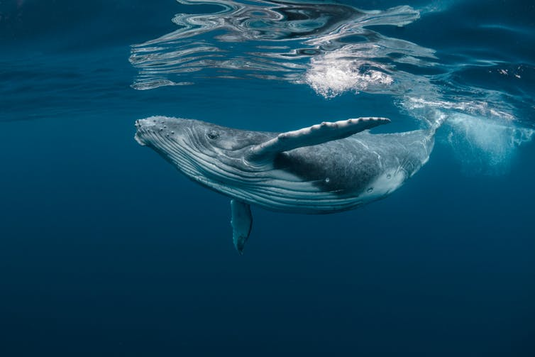 which is smarter – a blue whale or an orca?