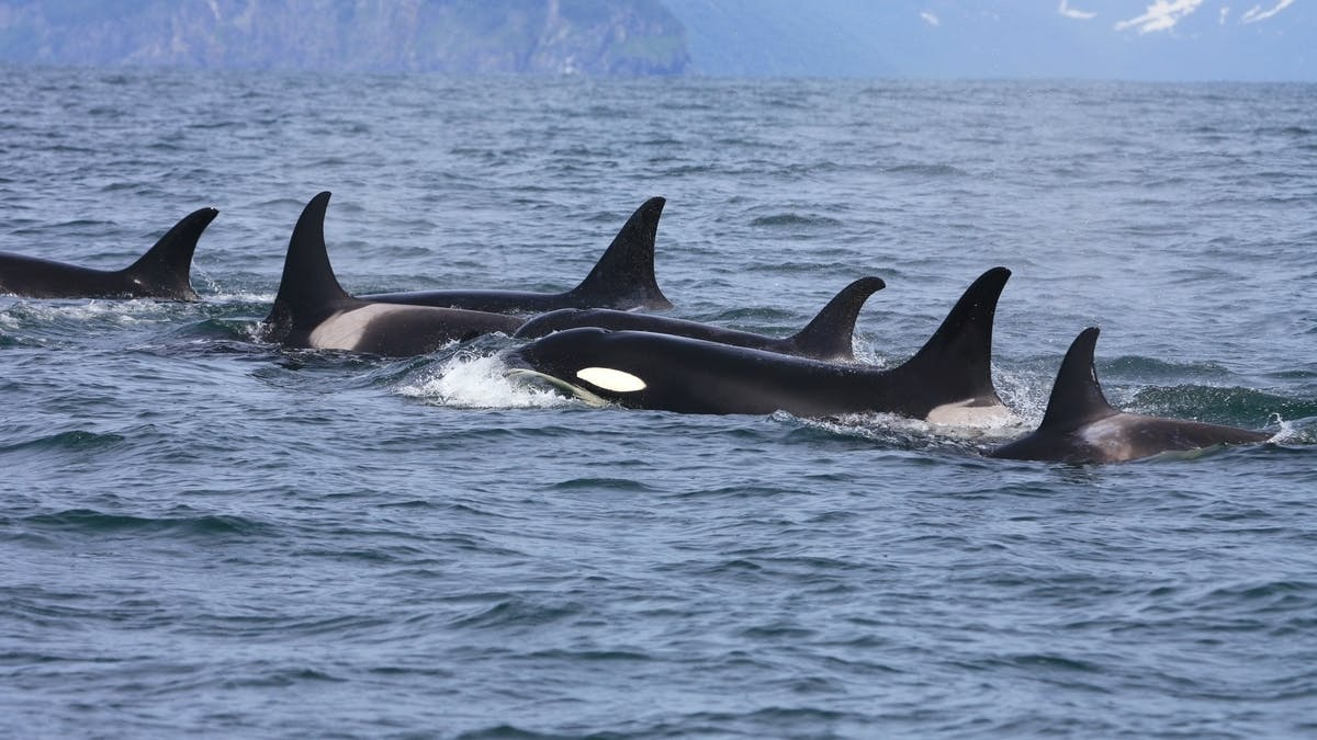 Curious Kids Which Is Smarter A Blue Whale Or An Orca