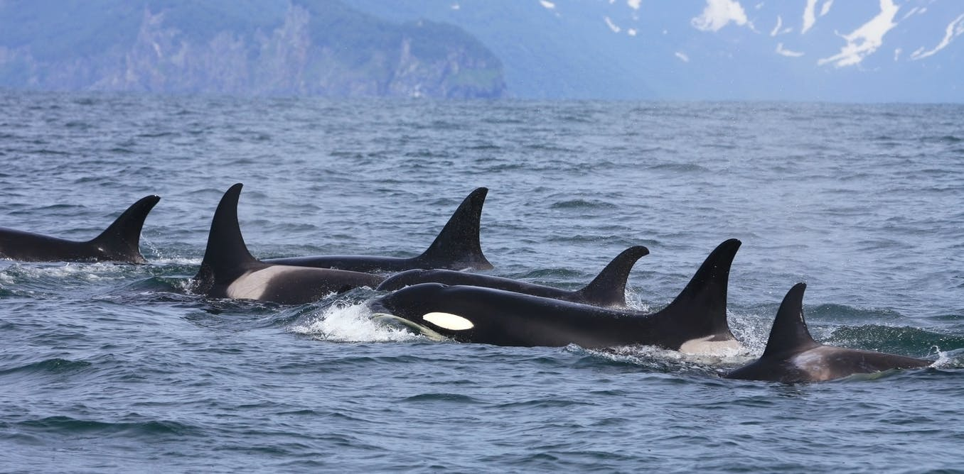 Curious Kids: which is smarter – a blue whale or an orca?