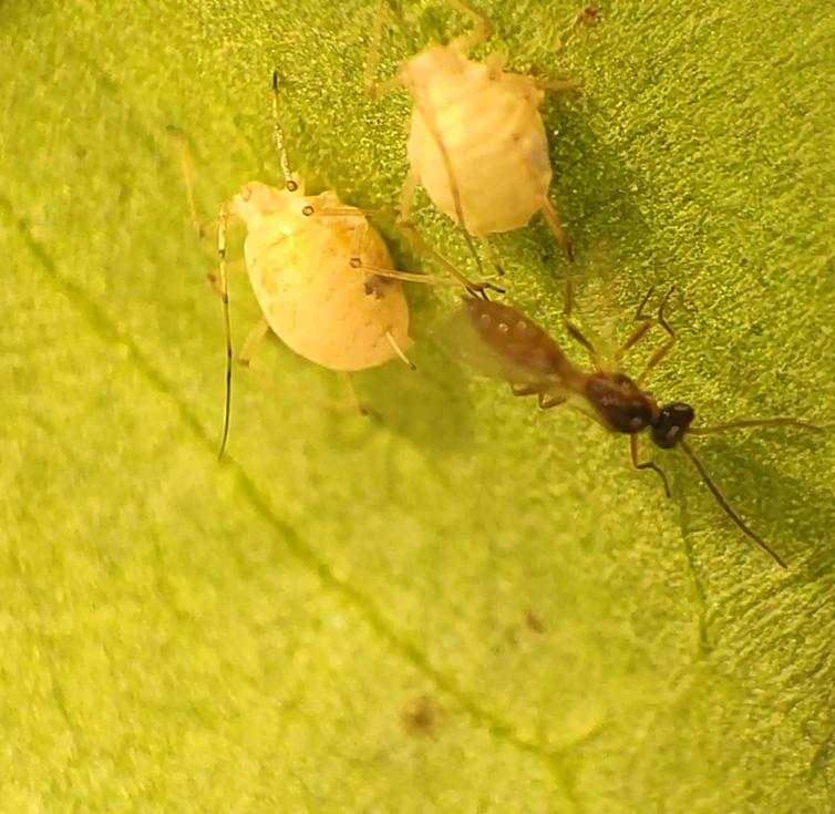 Mummified aphids
