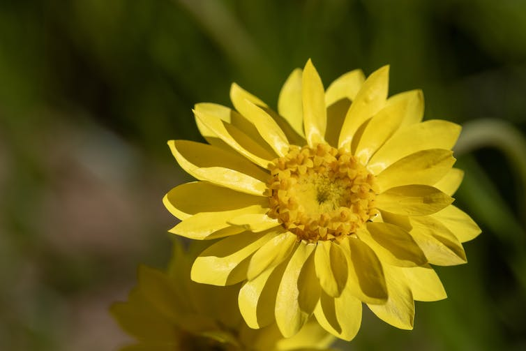 The showy everlasting is endangered, but a primary school is helping out