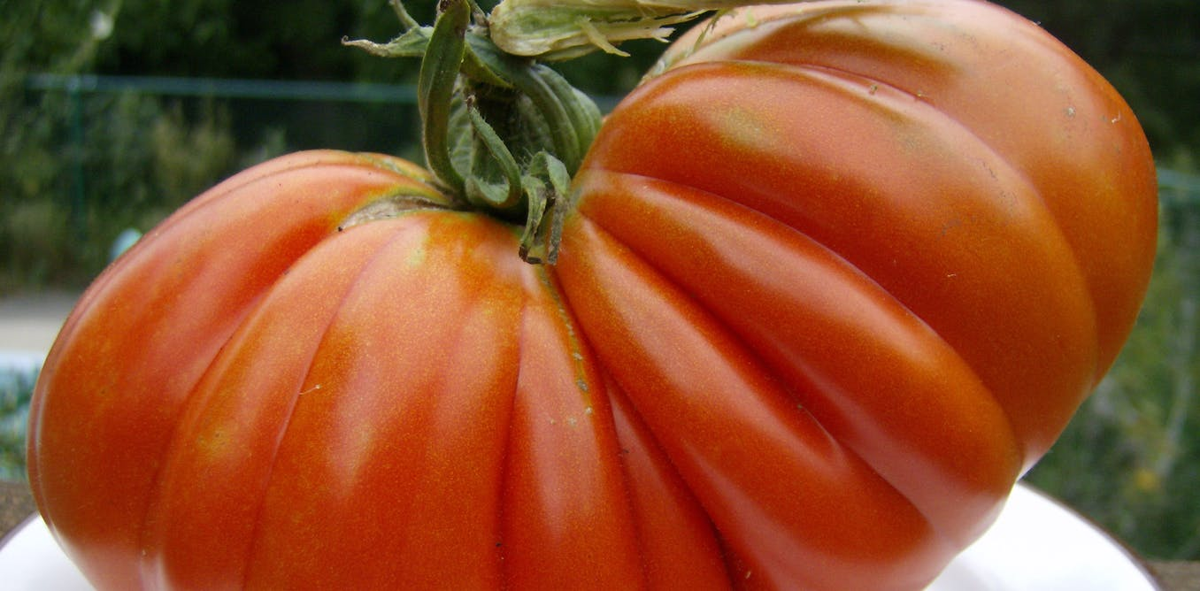 Growing the big one – 6 tips for your own prize-winning tomatoes