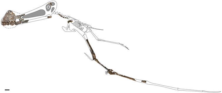 4-metre flying reptile unearthed in Queensland is our best pterosaur fossil yet