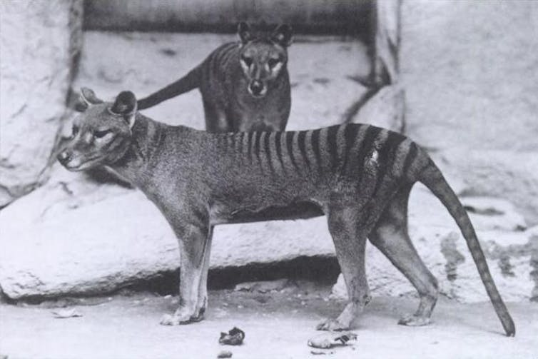 we might be the only intelligent life in the universe - thylacine