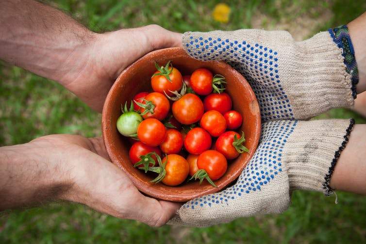 Two pairs of hands (one wearing gloves) holding a bowl of tomatoes over grass