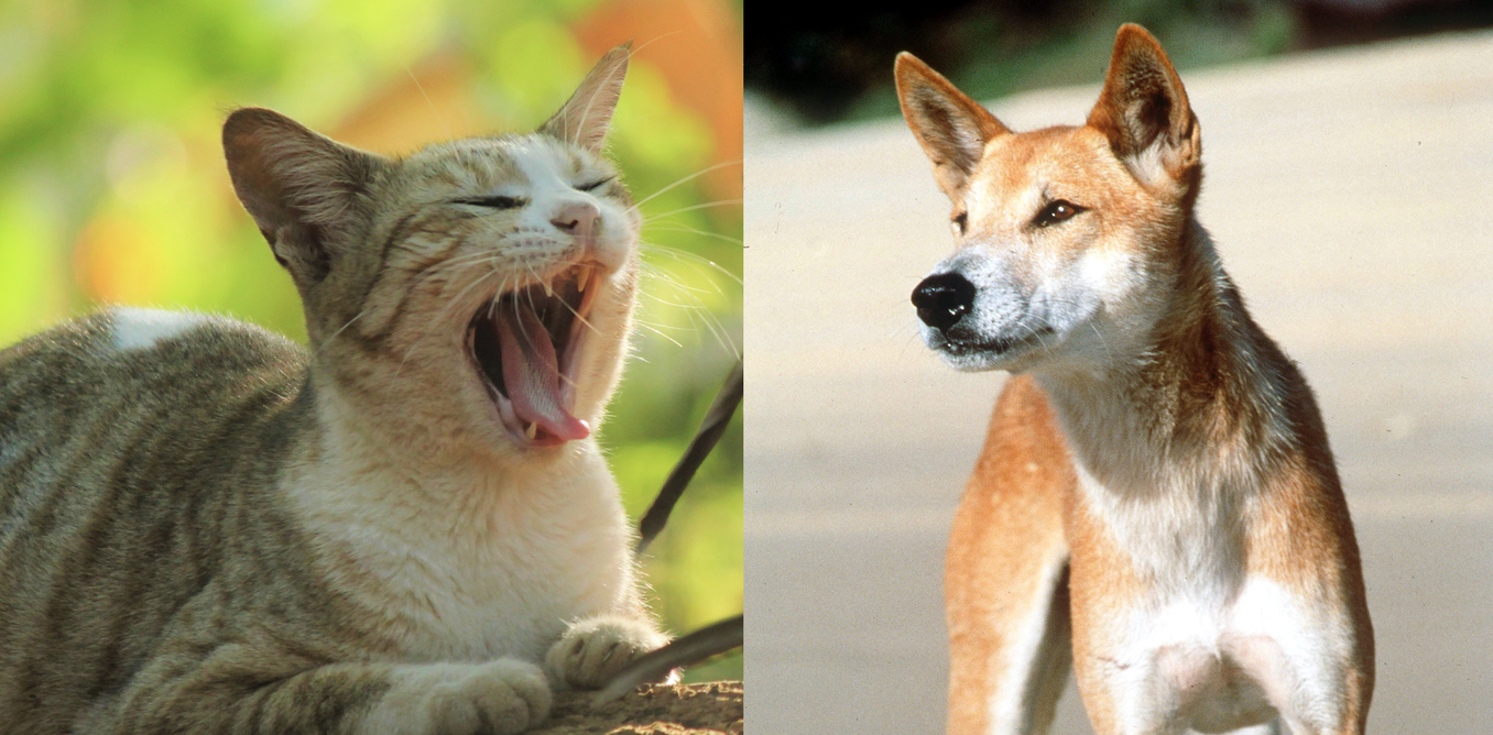 Cats are not scared off by dingoes. We must find another way to protect native animals