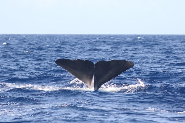 Sperm whale fluke. Felicia Vachon, Author provided