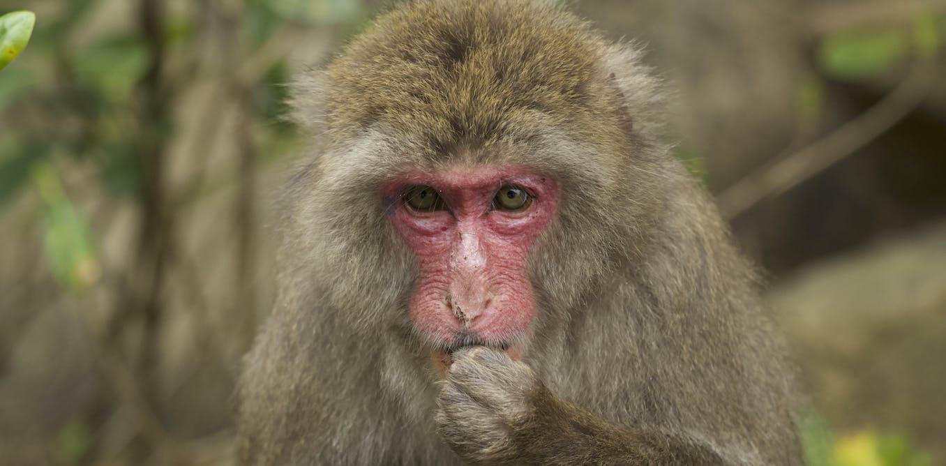 Pourquoi les macaques japonais ont-ils le visage et les fesses rouges ?