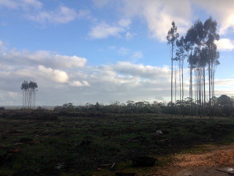 recently harvested blue gum plantation