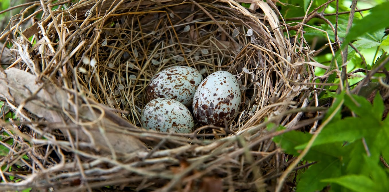 Hot as shell: birds in cooler climates lay darker eggs to keep their embryos warm