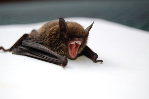 Vampire bats aren't the monsters we thought they were