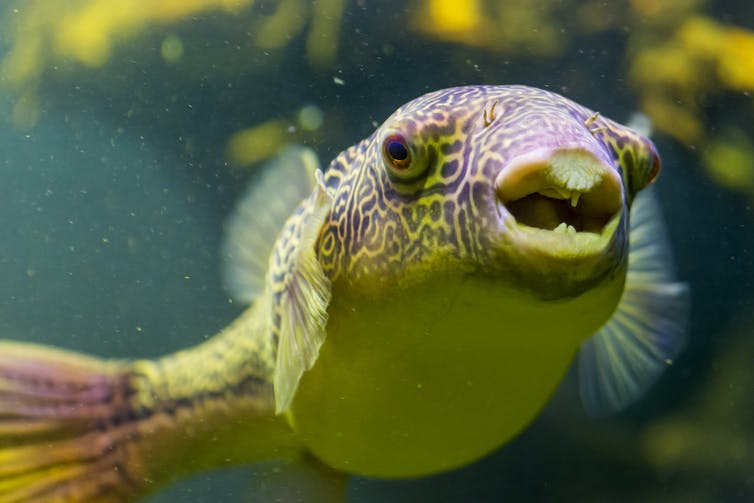 A puffer fish with an open mouth.