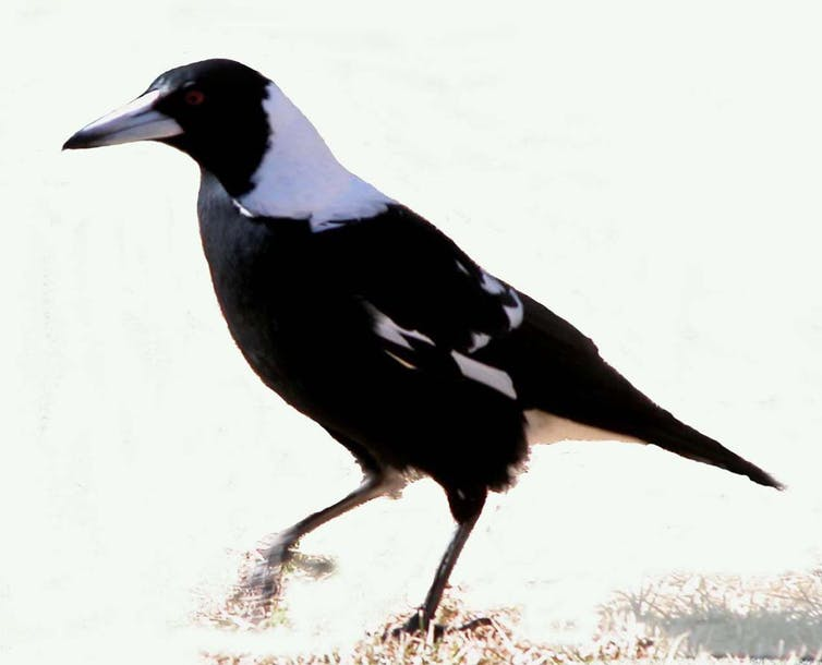A magpie is walk-foraging.