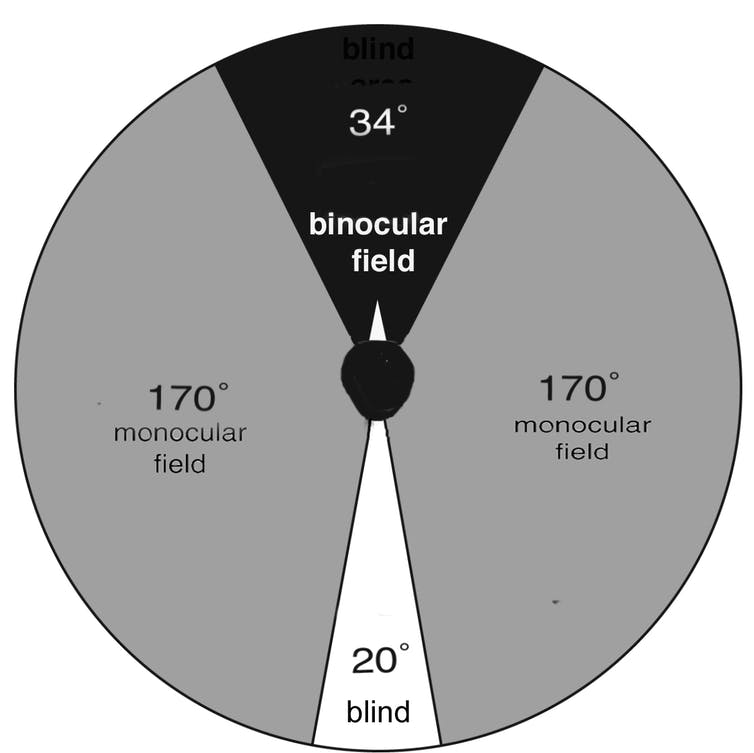 Magpie field of vision. A diagram that shows magpies' binocular and monocular vision.