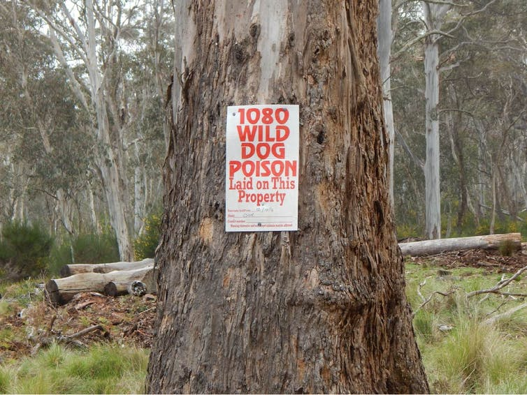 Dingoes found in New South Wales, but we're killing them as 'wild dogs'